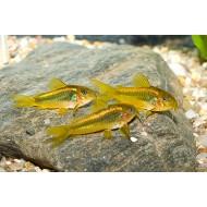 Corydora laser sp. gold stripe - Corydoras laser goldstripe Vivarium