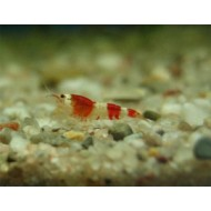 Caridina cf. crystal red  - Crystal red garnaal vivarium