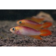 Apistogramma agassizii Red Flame - Dwergcichlide red flame Maat ML