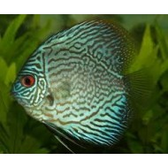 Symphysodon spp - Discus Turquoise ML