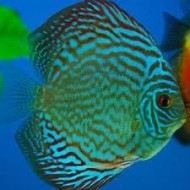 Symphysodon spp - Discus royal blue ML