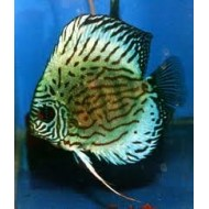 Symphysodon spp - Discus Turquoise groen grt