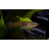 Endler gup female Maat M - endler guppy vrouw