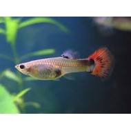 Lebistes reticulatus female mix Maat M - Guppy vrouw mix