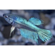 Betta splendens female crowntail - Siamese kempvis vrouw crowntail